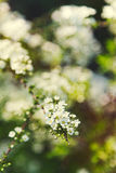 Closeup of white spiraea flowers Stock Photography