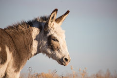 Closeup of a white spotted miniature donkey Royalty Free Stock Photo