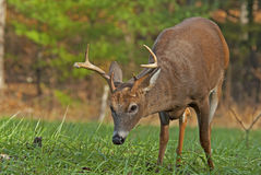 Closeup of a White Tailed Deer Buck at Cades Cove. Stock Photography