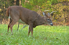 Closeup of a White Tailed Deer Buck at Cades Cove. Stock Images