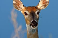 Closeup of White tailed Deer doe Stock Photo