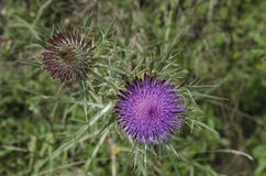 Closeup of a white thorn (Silybum marianum) Royalty Free Stock Image