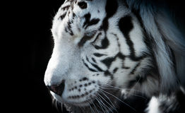 Closeup of white tiger with fur detail and stripes. The Closeup of white tiger with fur detail and stripes stock photography