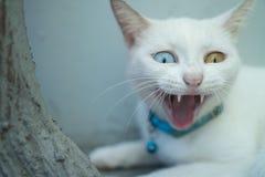 Closeup White Turkish Angora cat with heterochromia Stock Images