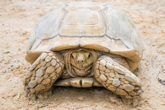 Closeup white turtle on the sand Royalty Free Stock Images