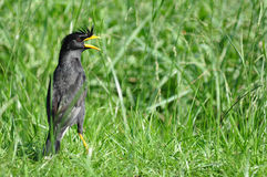 A closeup White-vented Myna Stock Image