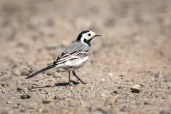 Closeup of a White Wagtail bird Motacilla alba Stock Images