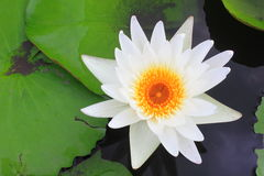 Closeup white water lily blooming in the garden Stock Photos