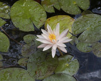 Closeup of a white water lily Stock Images