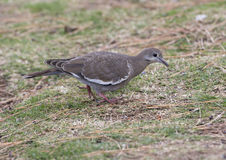 Closeup of a White-winged Dove on the ground Stock Image