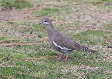 Closeup of a White-winged Dove on the ground Royalty Free Stock Photography