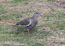Closeup of a White-winged Dove on the ground Stock Images