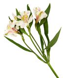 Closeup of white and yellow alstroemeria flowers royalty free stock photography