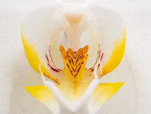 Closeup of white and yellow orchid Royalty Free Stock Photo