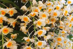 White and yellow orchid flowers with green leaf Stock Photos