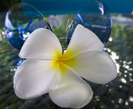 Closeup of a white and yellow plumeria frangipani flower on a glass table. Blue sunglasses in the background. Tropical Maldives island Royalty Free Stock Images