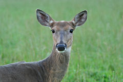 Closeup of Whitetail Deer Doe Royalty Free Stock Photos