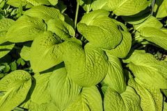 Closeup of wide green veined leaves. Closeup of wide green veined wide leaves Royalty Free Stock Photography