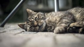 Closeup wide shot of an adult old domestic cat laying on the wooden porch and looking at the camera