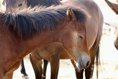 Closeup wild American mustang colt. In the Sierra Nevada desert royalty free stock photo