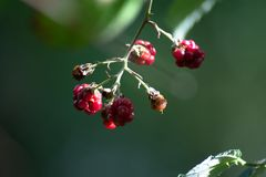 A closeup of wild berries royalty free stock photo
