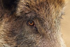 Closeup of a wild boar Royalty Free Stock Photography