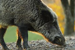 Closeup of wild boar in sunset light Royalty Free Stock Images
