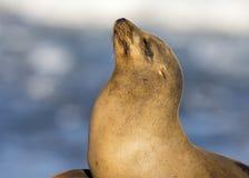 Closeup of a wild California Sea Lion - San Diego, California Stock Images
