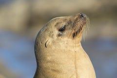 Closeup of a wild California Sea Lion - San Diego, California Royalty Free Stock Photography