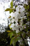 Closeup of Wild Cherry Blossoms stock photography