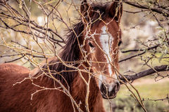Closeup of a wild colt horse peering through the shrubs Stock Photos