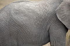 African elephant closeup Royalty Free Stock Photography
