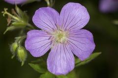 Closeup of wild geranium flowers at Valley Falls Park, Connectic Stock Photo