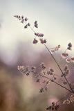 Closeup of wild grass ears on blurred nature background Royalty Free Stock Photos