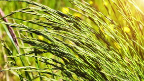 Closeup of wild grass on windy weather. Nature background stock footage