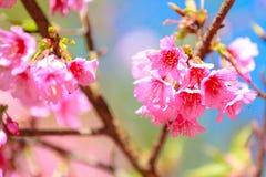 Closeup of Wild Himalayan Cherry Prunus cerasoides with a beau Stock Photos