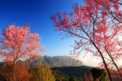 Closeup of Wild Himalayan Cherry (Prunus cerasoides) with Doi Lu Royalty Free Stock Photography