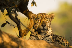 Closeup of Wild Jaguar Resting in the Shade Stock Image