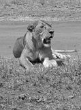 Wild lioness Stock Images