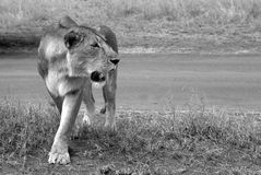 Wild lioness Royalty Free Stock Images