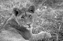 Wild young lioness Royalty Free Stock Photos