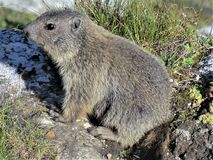 Closeup of a wild marmot in Switzerland. Closeup of a wild alert marmot on a rock in Switzerland stock images