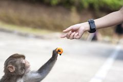Closeup of a wild monkey taking a crisp from a human hand, Hong. KAM SHAN COUNTRY PARK, HONG KONG - JULY 21, 2013 - Closeup of a wild monkey taking a crisp from stock photos