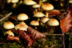 Closeup of wild mushrooms in the forest Stock Images
