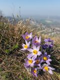 Closeup of a wild pasque flower in springtime stock photo