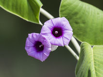 Closeup of a wild petunia flower Royalty Free Stock Image