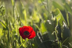 Closeup of Wild Poppy in the field with backlight .Spring Summ. Closeup of Wild Poppy in the field with backlight .Spring  Summer Grass Bokeh natural background Royalty Free Stock Photos