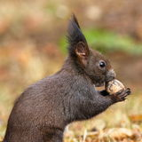 Closeup of wild red squirrel eating nut Royalty Free Stock Photo