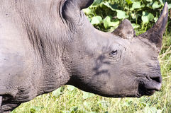 Closeup of a wild Rhino (Rhinoceros) Royalty Free Stock Images