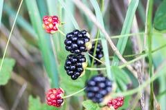 Closeup of Wild Ripe Blackberries Royalty Free Stock Image